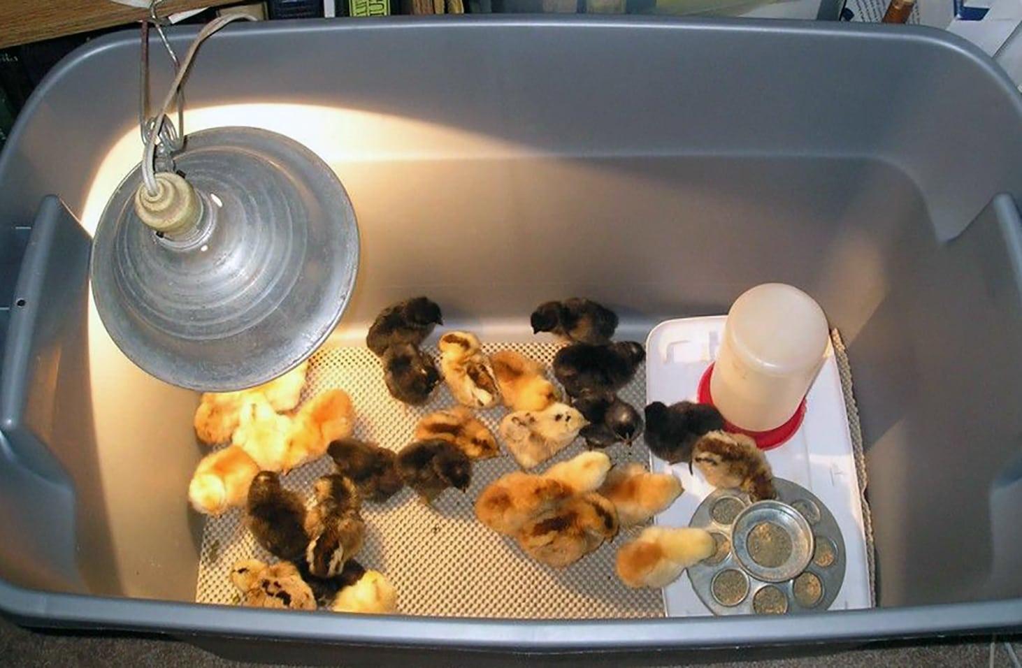 chicks feader