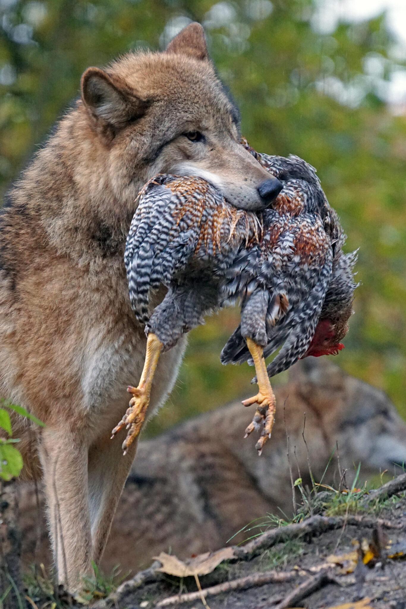 Coyot predator chicken