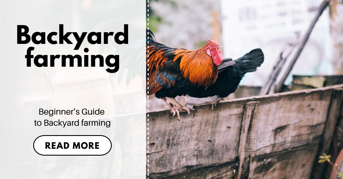 Backyard chicken farming
