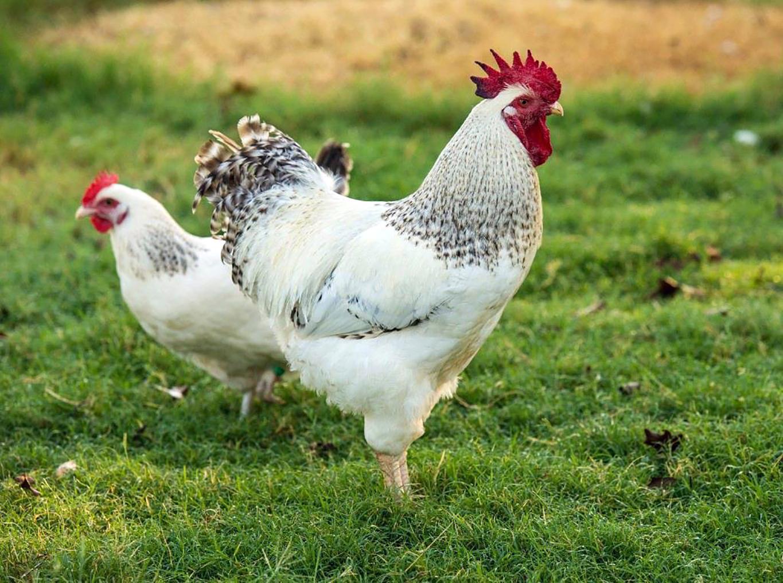 Delaware chickens