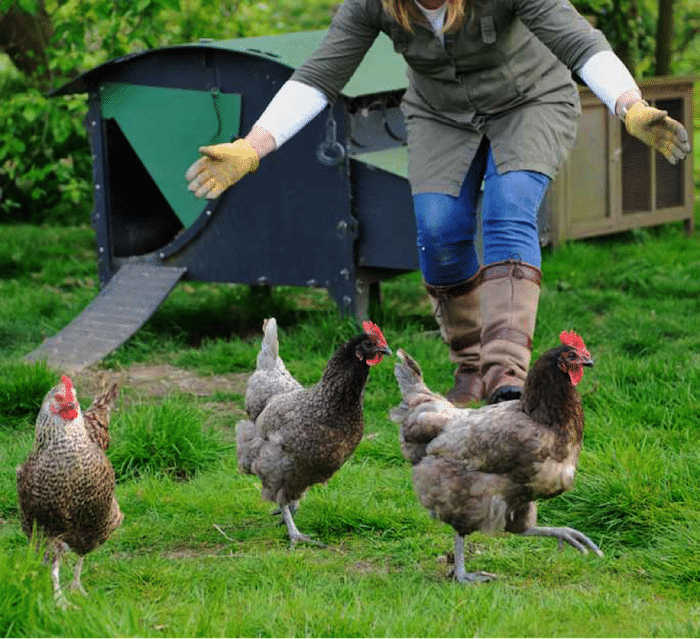 Catch Chicken